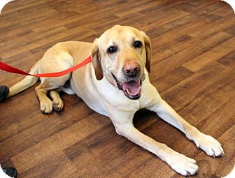 Labrador Retriever Dog for adoption in Cumming, Georgia - Beaux