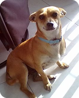 Terrier (Unknown Type, Small)/Chihuahua Mix Dog for adoption in San Diego, California - TALYA (CANADA)