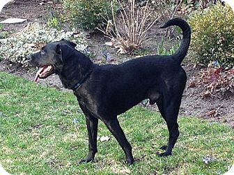 Labrador Retriever Mix Dog for adoption in Hamilton, Ontario - Brando