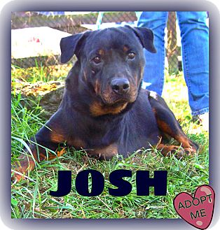 Rottweiler Dog for adoption in Middletown, New York - Josh