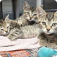 Adopt A Pet :: Terrific Tabbies - Adopted! - Colmar, PA