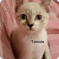 Adopt A Pet :: Tamale - Portland, OR