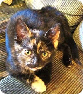 Domestic Shorthair Kitten for adoption in Burlington, Ontario - Nut Meg