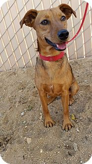 Edwards AFB, CA - Dachshund/Jack Russell Terrier Mix. Meet ...