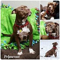 Adopt A Pet :: Primrose - Sioux Falls, SD