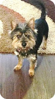 Yorkie, Yorkshire Terrier Mix Dog for adoption in Franklin, Tennessee - KING