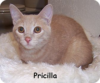 Domestic Shorthair Cat for adoption in Oklahoma City, Oklahoma - Pricilla
