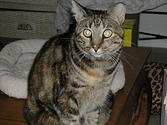 Domestic Shorthair Cat for adoption in Bonita Springs, Florida - Montana
