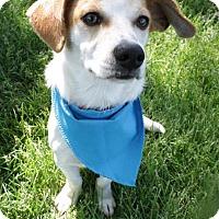 Adopt A Pet :: Dalton - Kirkland, WA