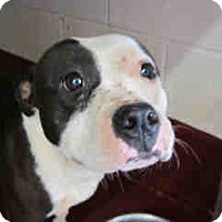 American Bulldog Mix Dog for adoption in Newnan City, Georgia - Trixie