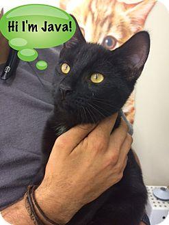 Domestic Shorthair Kitten for adoption in Devon, Pennsylvania - Java