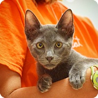 Domestic Shorthair Kitten for adoption in Dallas, Texas - Justin