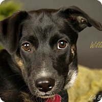 Adopt A Pet :: Willa - Kirkland, QC