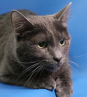 Domestic Shorthair Cat for adoption in Overland Park, Kansas - Adonis