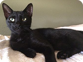 American Shorthair Kitten for adoption in Metairie, Louisiana - Antonio