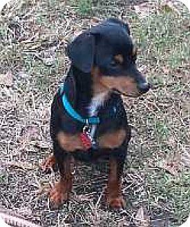 Miniature Pinscher Mix Dog for adoption in Summerville, South Carolina - Ace