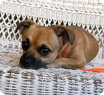 Pekingese/Chihuahua Mix Dog for adoption in Newnan, Georgia - Bug