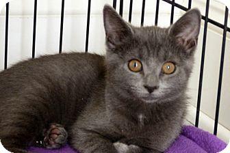 Domestic Shorthair Kitten for adoption in Durham, North Carolina - Sushi