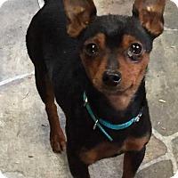 Adopt A Pet :: Itty - Mooresville, NC