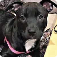Adopt A Pet :: Hermione Granger - Schaumburg, IL