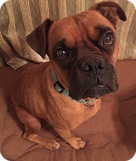 Boxer Mix Dog for adoption in Bernardston, Massachusetts - Miley