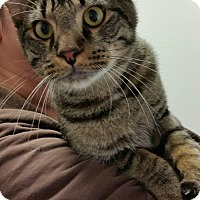 Domestic Shorthair Cat for adoption in Chambersburg, Pennsylvania - Griffin