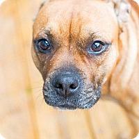 Adopt A Pet :: SCARLETT - Williamsburg, VA