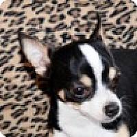 Adopt A Pet :: Tiger - Portola, CA