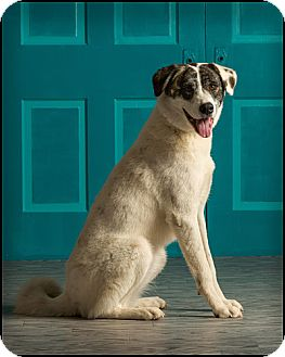 Great Pyrenees/Australian Cattle Dog Mix Dog for adoption in Owensboro, Kentucky - Allie