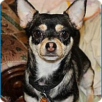 Chihuahua Dog for adoption in Hawk Springs, Wyoming - Bubbles
