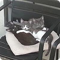 Adopt A Pet :: Greyson - Laguna Woods, CA