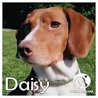 Adopt A Pet :: DasiyII - Novi, MI