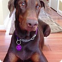 Adopt A Pet :: Shiloh - Arlington, VA