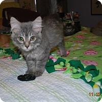 Adopt A Pet :: Hermione Granger - Bentonville, AR