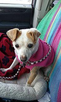 Chihuahua Mix Dog for adoption in Harrisburg, Pennsylvania - Contessa