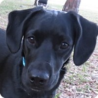 Adopt A Pet :: Hailey ~ 11 Mos of Age - St Petersburg, FL