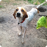 Redtick Coonhound Dog for adoption in Glen St Mary, Florida - Henry J