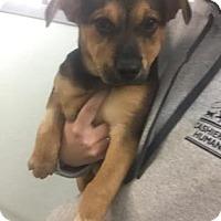Adopt A Pet :: Rye - Cashiers, NC