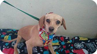 Beagle/Chihuahua Mix Dog for adoption in San Diego, California - Latte