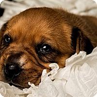 Adopt A Pet :: Alana - Bloomington, IL