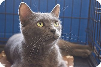 Russian Blue Cat for adoption in Flushing, Michigan - Cece