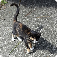 Domestic Shorthair Cat for adoption in Parkton, North Carolina - Van