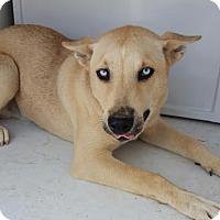 Adopt A Pet :: Bozz - Fresno, CA