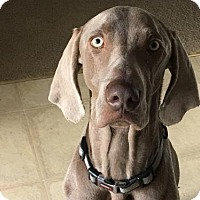 Weimaraner Dog for adoption in Wagener, South Carolina - Hugo