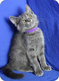 Domestic Shorthair Kitten for adoption in Winston-Salem, North Carolina - Carolina