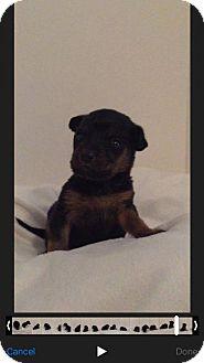 Chihuahua Mix Puppy for adoption in ROSENBERG, Texas - Venus