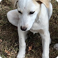 Golden Retriever/Labrador Retriever Mix Puppy for adoption in Moosup, Connecticut - MONTANA