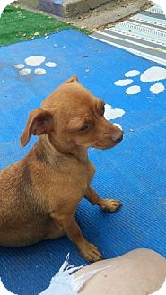 Dachshund/Chihuahua Mix Dog for adoption in Englewood, Colorado - MaMa LINDA