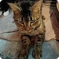 Adopt A Pet :: Bradley - Tampa, FL
