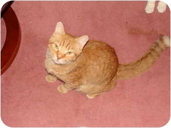 Domestic Shorthair Cat for adoption in Spotsylvania, Virginia - Ranger